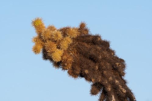 teddybearcholla cactus desert sonorandesert janerautrail brownsranch mcdowellsonoranpreserve scottsdale arizona sunrise