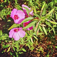 20180609 first-clarkia-blooms
