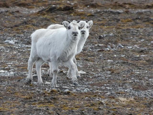 Crías de renos en Svalbard (Noruega)