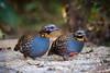 Rufous-throated partridge (Arborophila rufogularis) 红喉山鹧鸪 hóng hóu shān zhè gū by China (Jiangsu Taizhou)