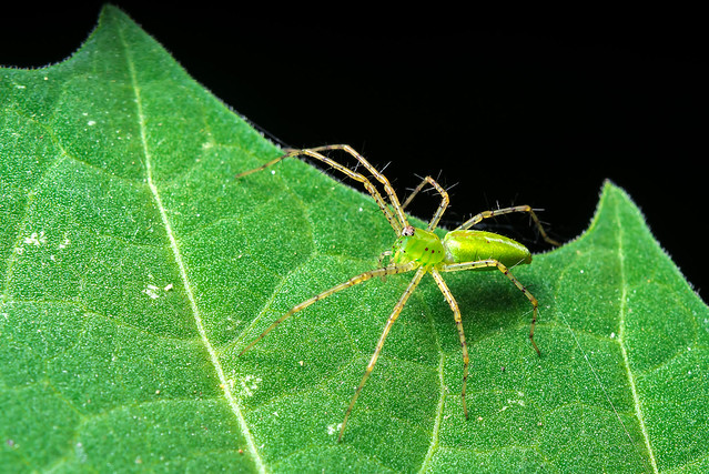 Young Green Lynx Spider (Peucetia viridans)