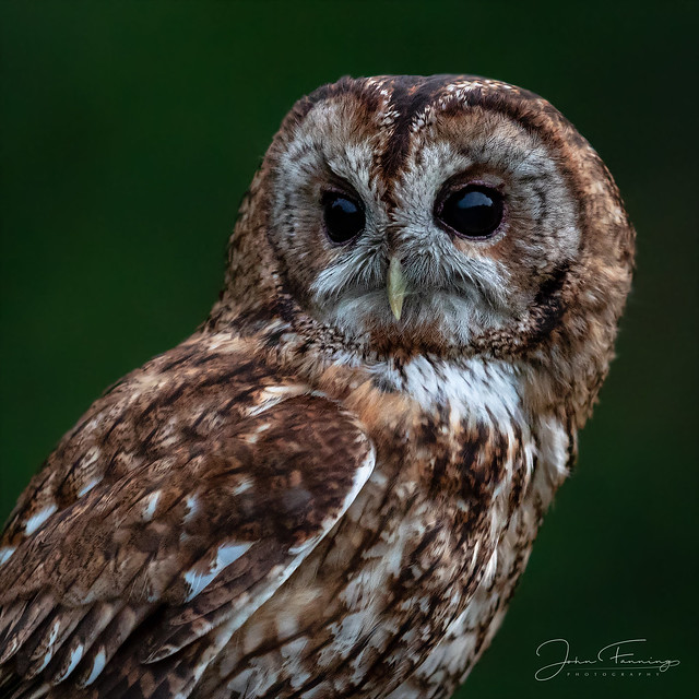 Tawny in Daylight-Dusk