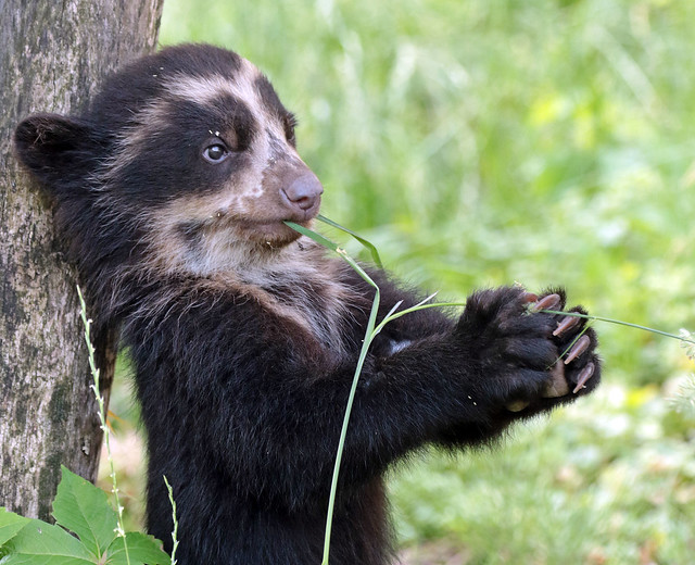 spectacled bear antwerpen BB2A1388