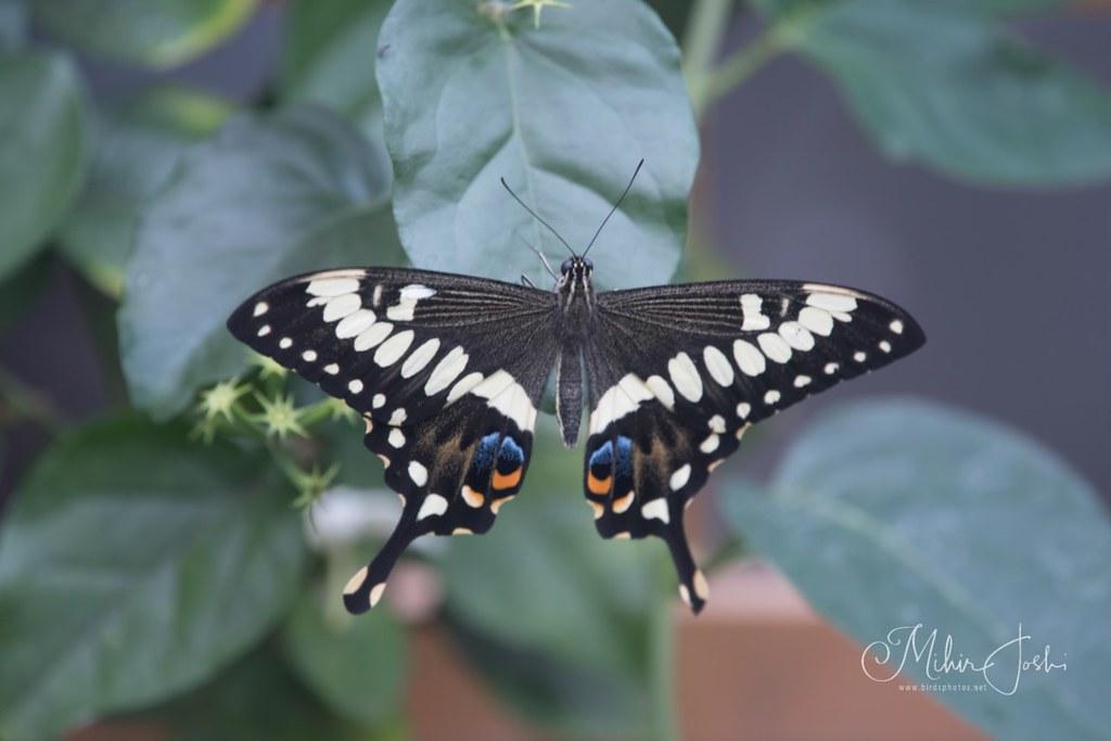 Emperor Swallowtail [Papilio ophidicephalus]