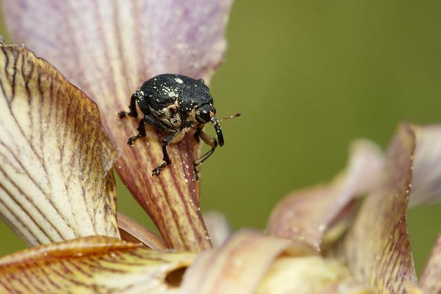 Iris weevil on stinking iris