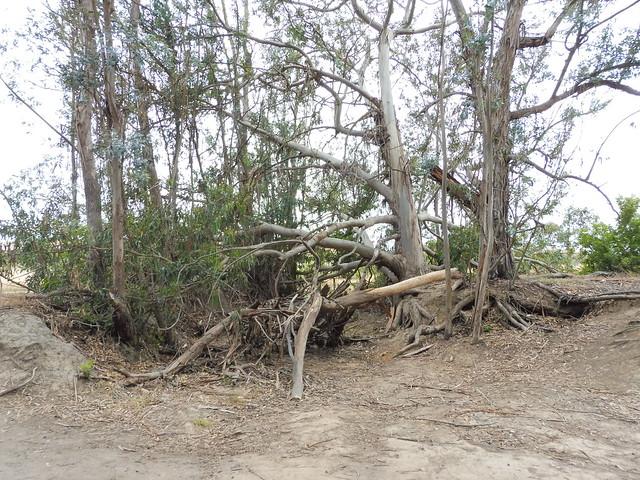 P1040186 Ellwood mesa eucalyptus