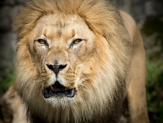 Male Lion (Panthera leo) | by Wade Tregaskis