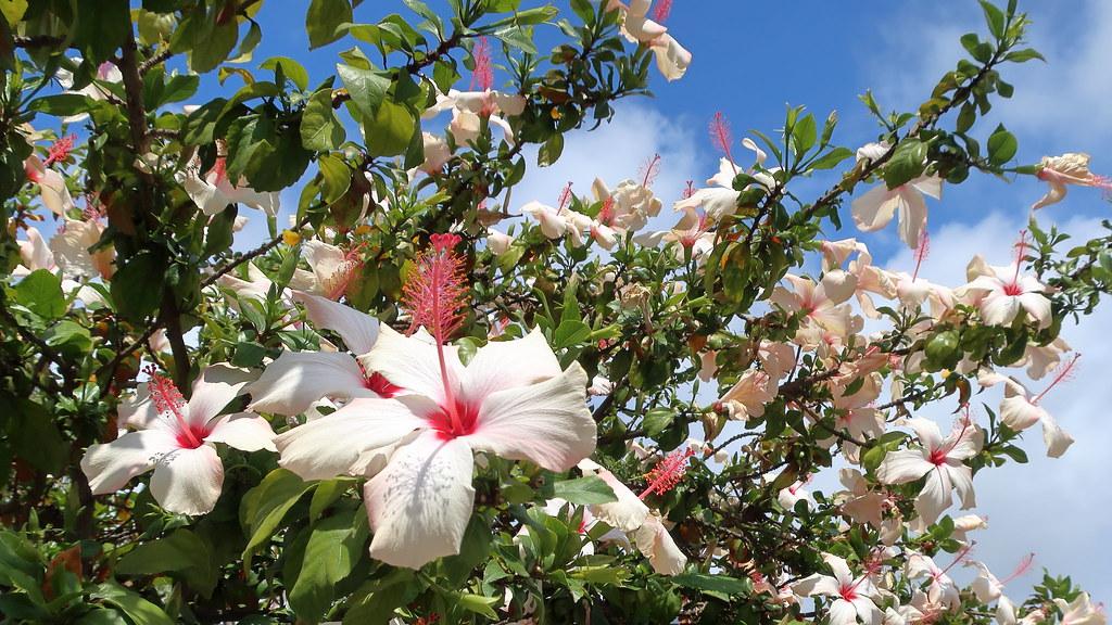 180518 081 La Jolla Ca Prospect St Hibiscus Rosa Sinens Flickr