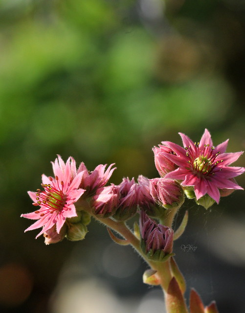 Fleurs de joubarbe 2