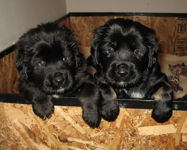 Month old Tibetan Mastiff Puppies | brentolson | Flickr