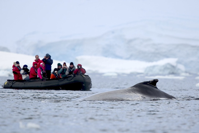 Humpbacks in Antarctica are curious