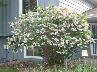 Lilac Bush (Front Yard) | by pelennor