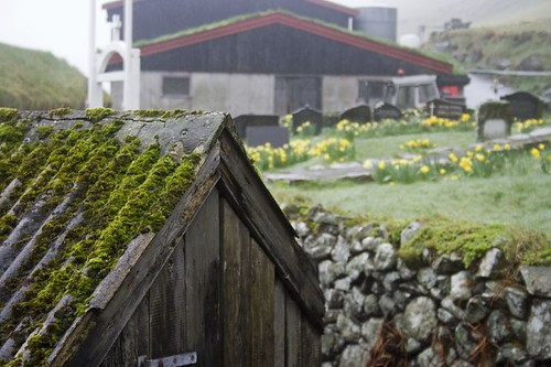 Mossy shed and daffodils | by olikristinn