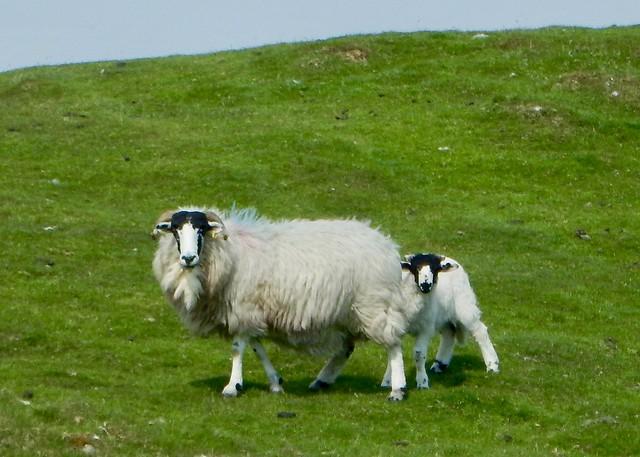 Rough Fell Ewe & Lamb