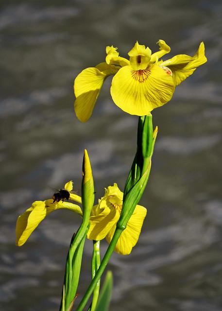 Yellow swamp iris