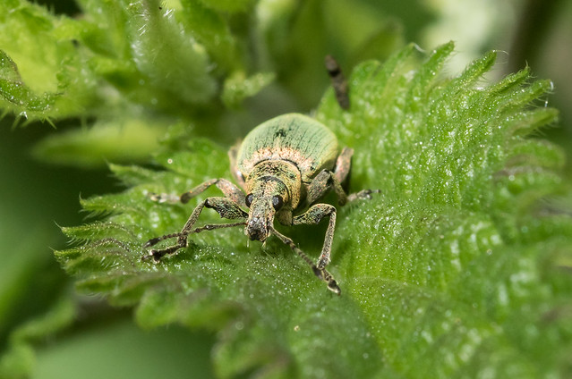 Green nettle weevil up close, on a nettle