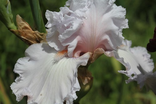 Iris 'Strawberry Frosting'- Michael Sutton 2009 40731211570_1ae283bf17