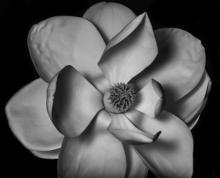 Magnolia Flower In Black And White I Placed This Flower On Flickr