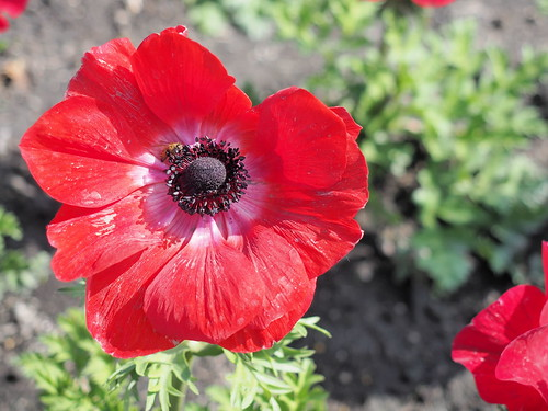 A poppy is a flowering plant in the subfamily Papaveroideae of the family Papaveraceae | by huislaw