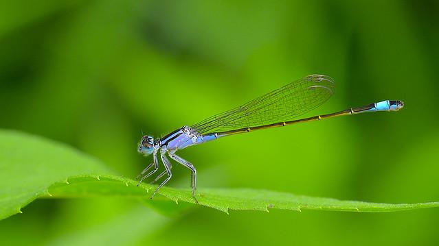 Ischnura elegans ( Common bluetail, Kék légivadász)
