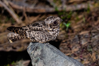 Common Poorwill | by njh1201