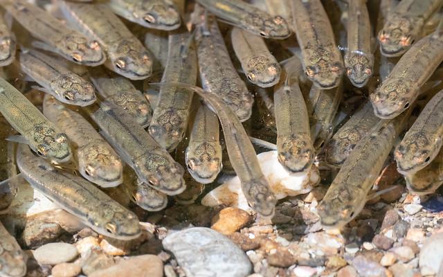 Minnows - spawning shoal (R Barle)