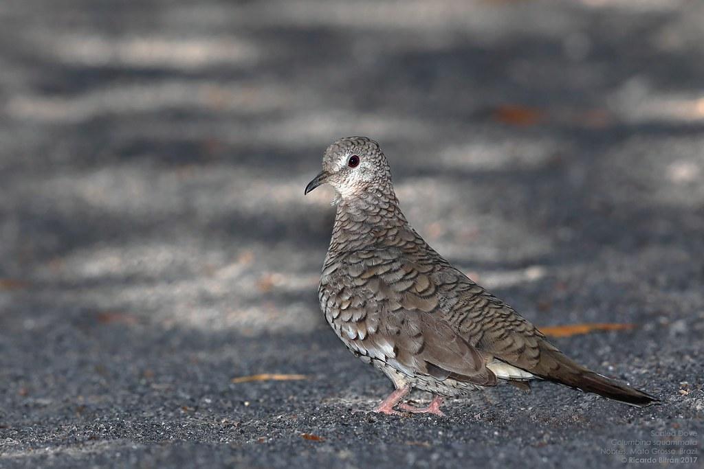 Scaled Dove (Columbina squammata) Nobres, Mato Grosso, Brazil 2017-02