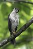 Collared Forest-Falcon by Jorge Obando Gutierrez
