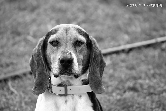Spud the Beagle b&w