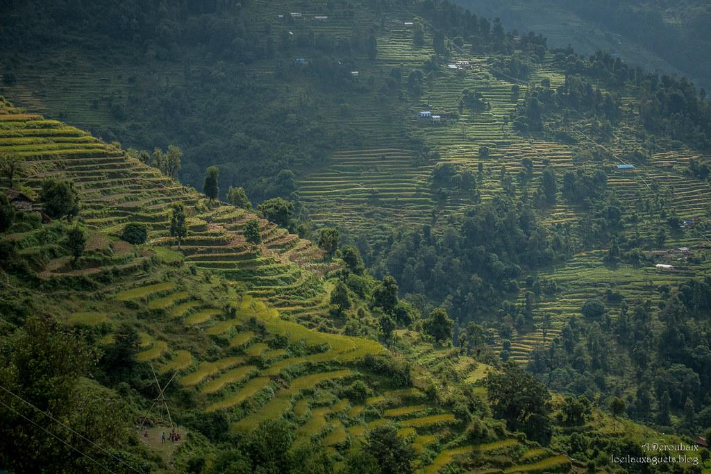 Landruk  Sur le trek des Balcons de l'Annapurna  Rizières