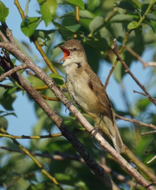 Oriental Reed Warbler, Acrocephalus orientalis, Восточная дроздовидная камышевка
