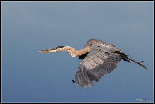 06-5829_Great_Blue_Heron_peg_leg   by michaelsorsky