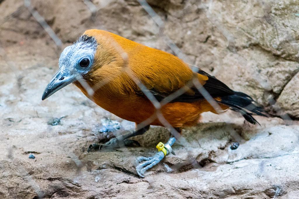 Capuchinbird