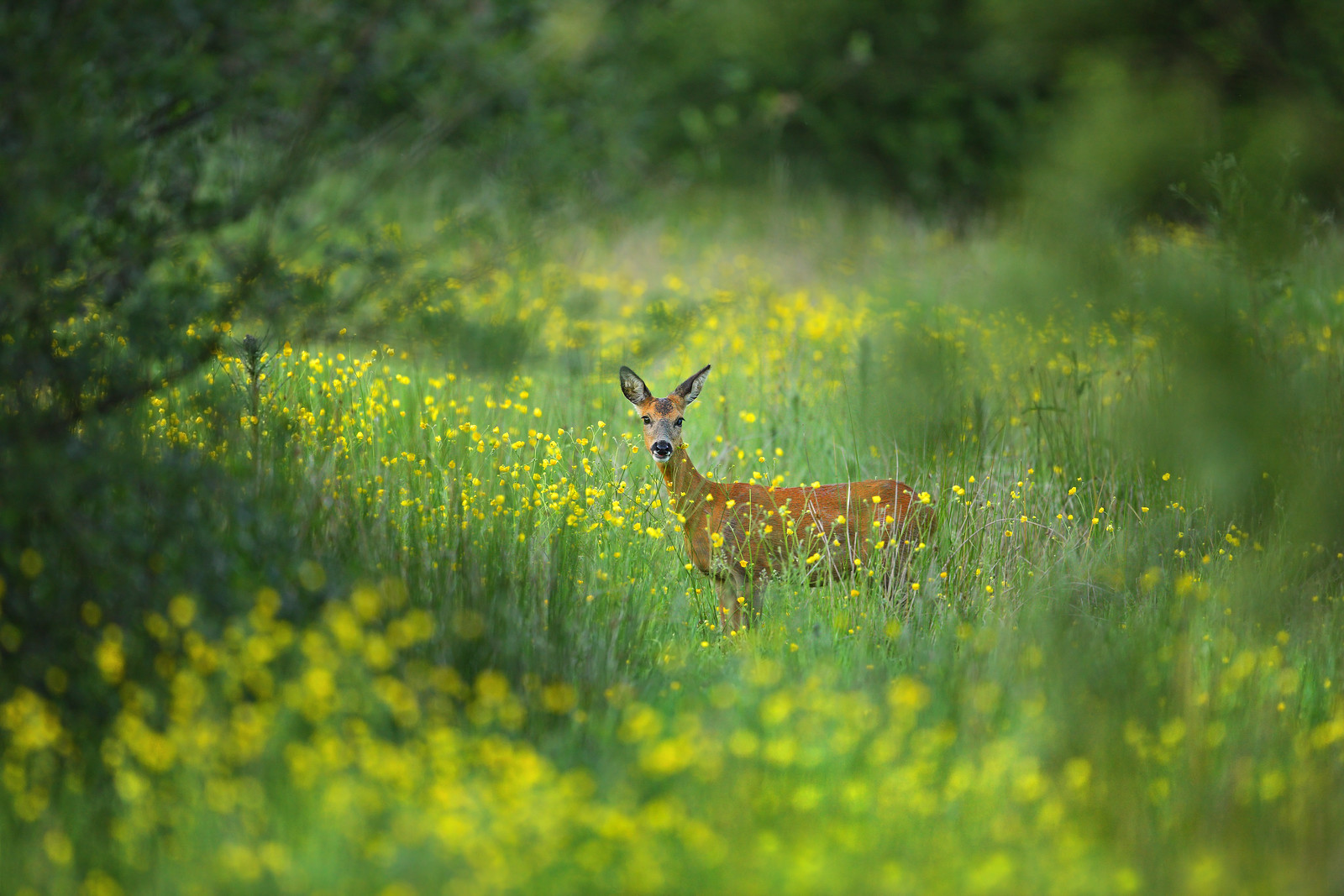 Bambi in the Buttercups