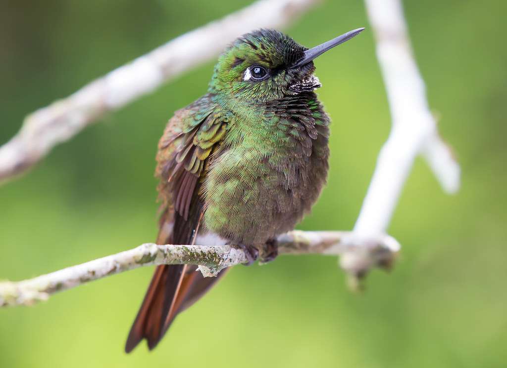 Beija-flor-rubi - Macho, Brazilian Ruby - Male (Clytolaema rubricauda)