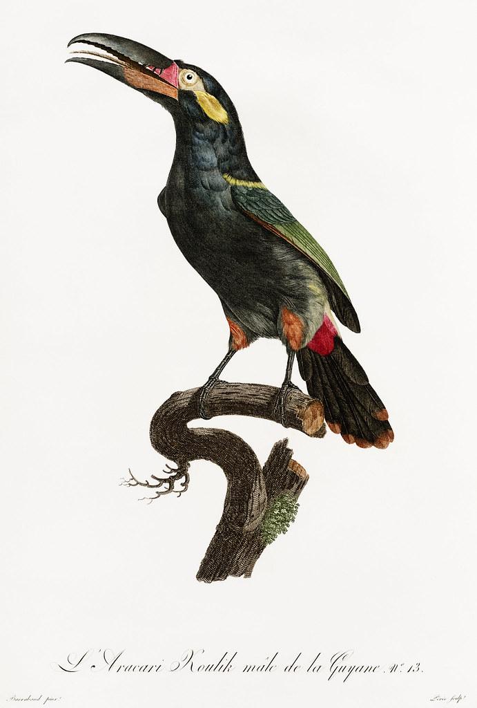 Black-necked Aracari from Histoire Naturelle des Oiseaux de Paradis et Des Rolliers (1806) by Jacques Barraband (1767-1809).