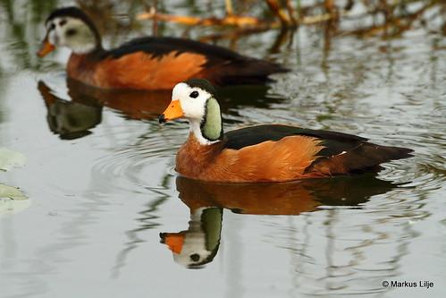 markuslilje ethiopia bird birds birding wildlife animals lakeawassa riftvalley africanpygmygoose nettapusauritus