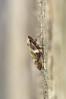 Philaenus spumarius by Will_wildlife