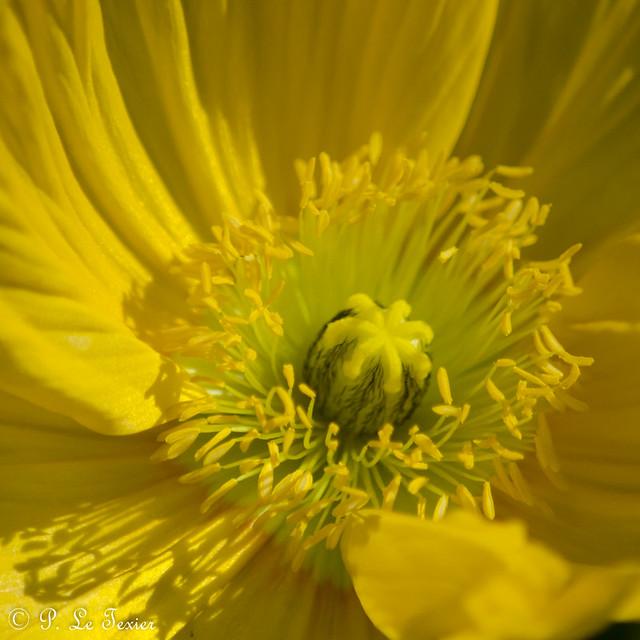 Les stupéfiants pavots du jardin des Plantes 09