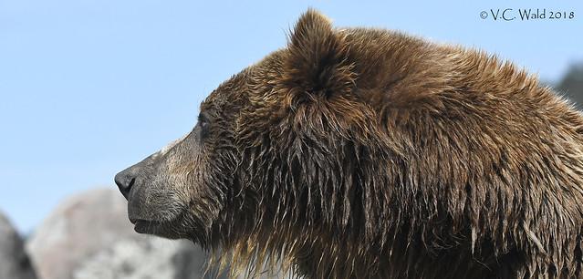 Bella, Montana Grizzly Encounter