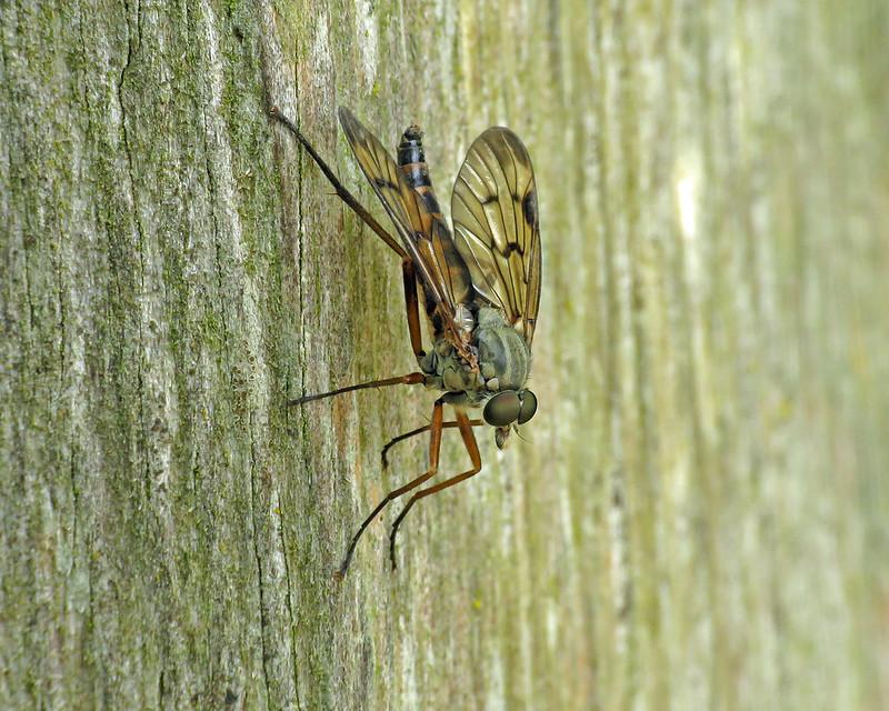 Downlooker Snipefly - Rhagio scolopaceus