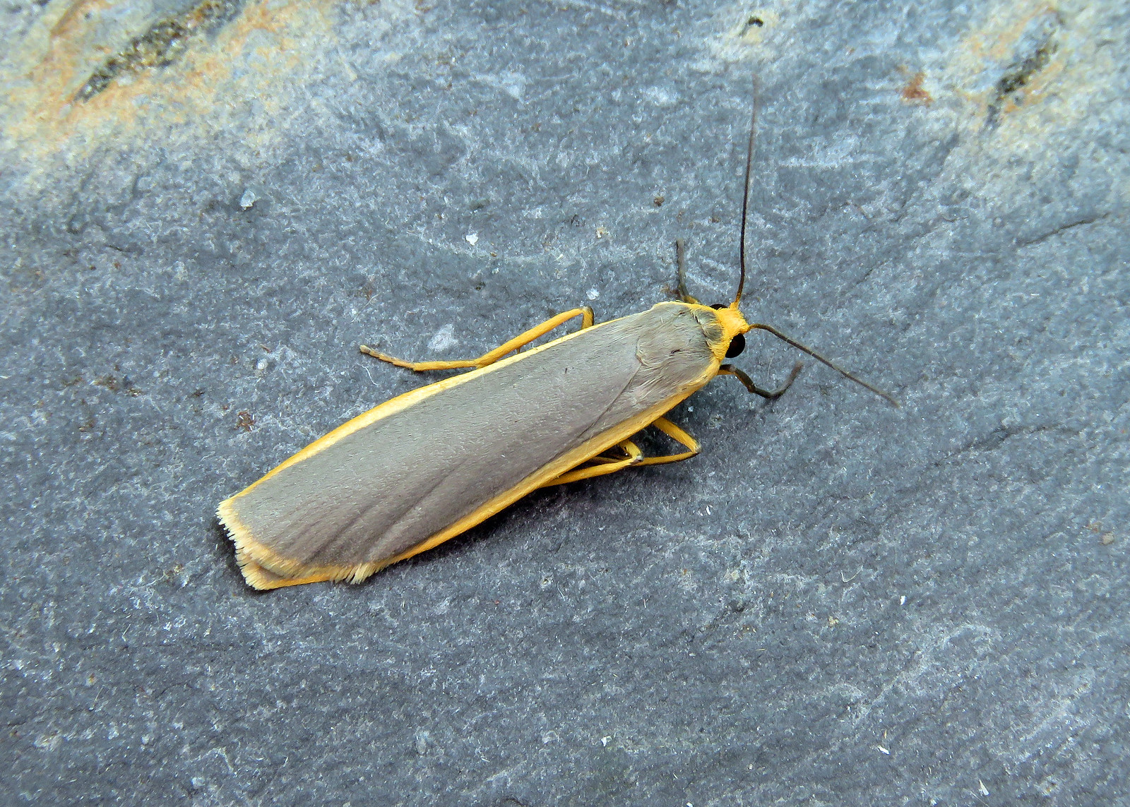 72.045 Common Footman - Eilema lurideola