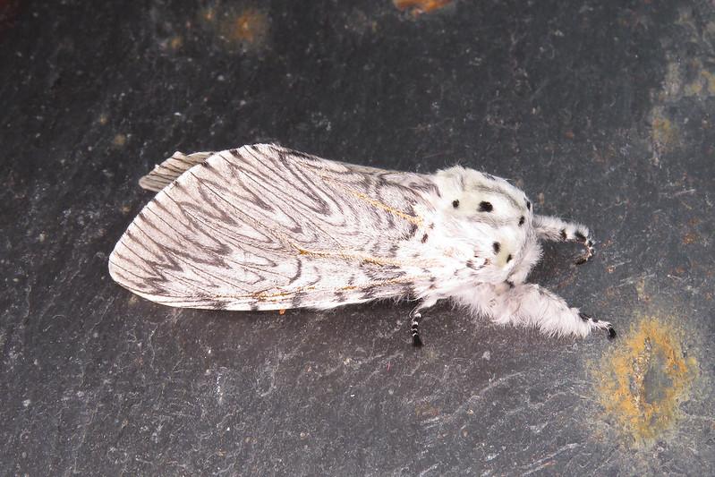 71.003 Puss Moth - Cerura vinula