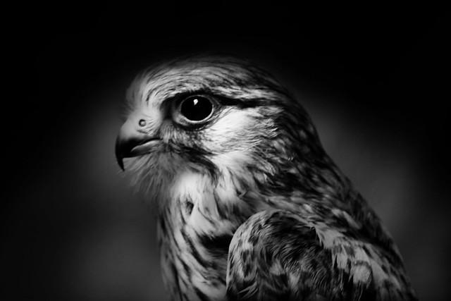180617 - 002 Monochrome Hawk