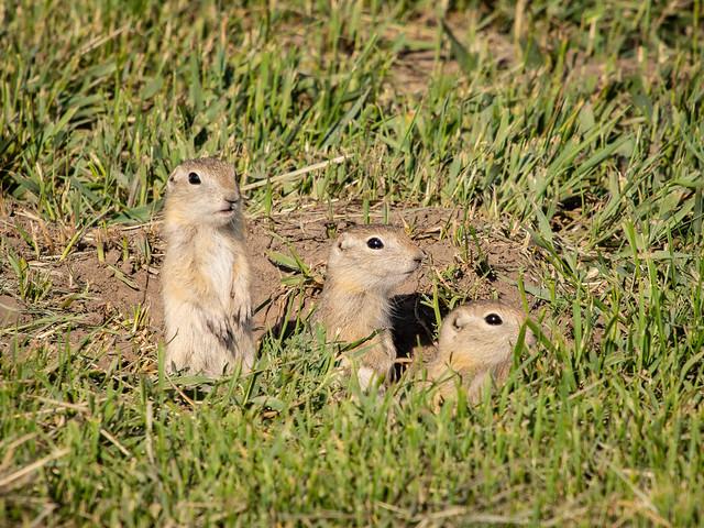 gophers (Richardsons ground squirrels)