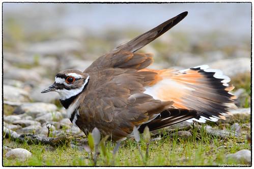 d500 nikkor600f4evr 14xtciii raphaelkopanphotography grandvalleypreserve ohio wildlife