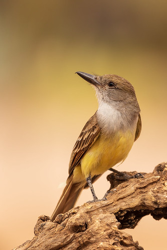 bokeh landscape sigma canon ngc animal 5dmarkiv feather wildlife bird browncrestedflycatcher tucsonwood arizona eos perched naturetop flickr