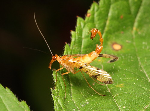 Scorpionfly | by marcoli789