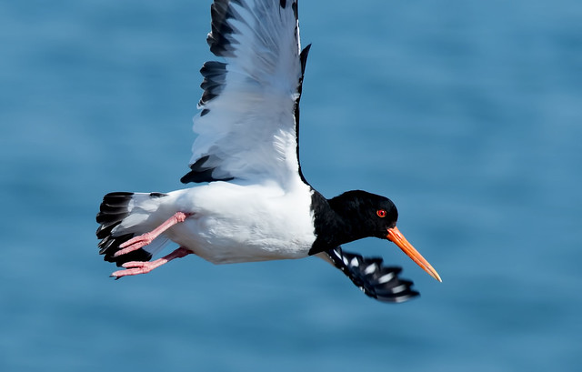 Oyster Catcher in Flight  'Haematopus ostralegus'