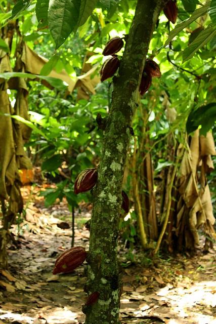 Ambanja (Madagascar): Theobroma cacao